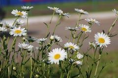 Сад стоцвета белые цветки русской маргаритки стоцвета щеголя Стоковые Фото