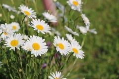 Сад стоцвета белые цветки русской маргаритки стоцвета щеголя Стоковое фото RF