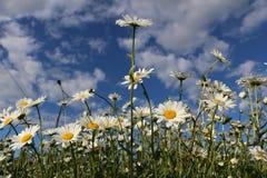 Сад стоцвета белые цветки русской маргаритки стоцвета щеголя Стоковая Фотография RF