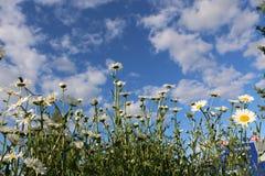 Сад стоцвета белые цветки русской маргаритки стоцвета щеголя Стоковое Изображение RF