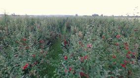 Сад с зрелыми яблоками, конец, вид с воздуха сток-видео