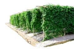 Сад тыквы аграрной фермы овоща горький для здоровья садовника стоковые изображения rf