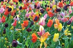 Сад тюльпана стоковое фото rf