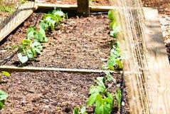 сад фасолей органический Стоковое Изображение RF