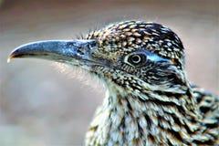 Сад Феникс пустыни Roadrunner ботанический, Аризона, Соединенные Штаты стоковые фотографии rf