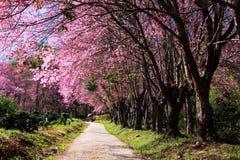 Сад цветения вишни Стоковое фото RF