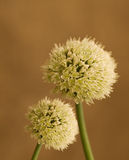 сад цветка возглавляет shallot лука органический Стоковые Изображения