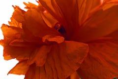 сад цветка предпосылки большой декоративный изолировал белизну мака Лепестки шарлаха любят ветрила Стоковые Фотографии RF