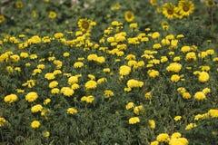 Сад цветков и солнцецветов ноготк Стоковое фото RF