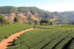 Сад чая в Таиланде Стоковые Изображения