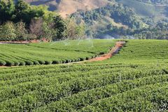 Сад чая в Таиланде Стоковое фото RF
