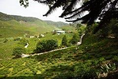 Сад чая Стоковая Фотография RF