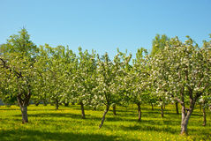 сад яблока зацветая Стоковое фото RF