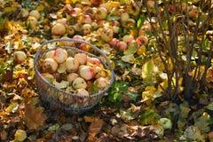 Сад яблока корзины Яблока в осени Стоковая Фотография RF