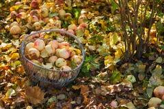 Сад яблока корзины Яблока в осени Стоковая Фотография