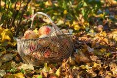 Сад яблока корзины Яблока в осени Стоковое фото RF