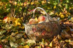 Сад яблока корзины Яблока в осени Стоковые Изображения RF