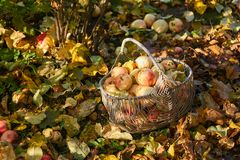 Сад яблока корзины Яблока в осени Стоковые Изображения