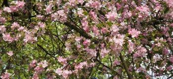 Сад Яблока красивой предпосылки Blossoming Стоковое фото RF