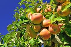 сад яблока Стоковое Изображение