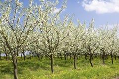 сад яблока Стоковые Фото
