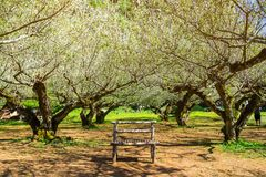 Сад японского абрикоса с стендом на королевской аграрной станции AngKhang, Чиангмае, Таиланде Стоковые Фотографии RF