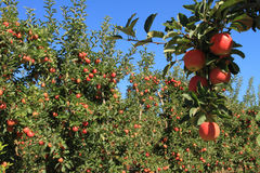 Сад 02 Apple Стоковые Изображения