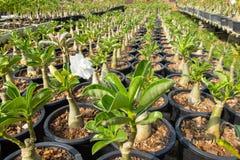 Сад Adenium лилии Impala Стоковое Изображение RF