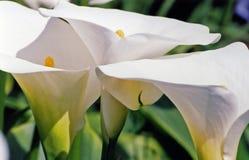 сад calla Стоковые Фото