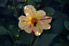 Сад Dhalia весной Стоковое Изображение RF