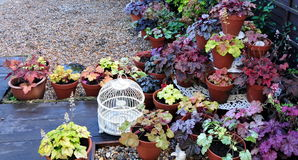 Сад Heuchera стоковая фотография