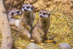 Сад Meercats зоологический Стоковая Фотография RF