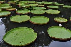 Сад Pamplemousse, Маврикий стоковая фотография rf