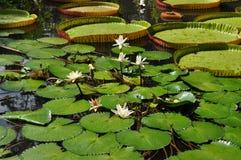 Сад Pamplemousse, Маврикий стоковое изображение