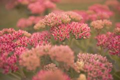 Сад Sedum цветков розовый солнечный день Стоковое Изображение RF
