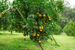 Сад Tangerine на севере Таиланда стоковые изображения rf