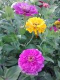Сад Zinnia стоковое изображение