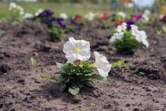 Саженец белых цветков петуньи, засаженных на том основании цветников Стоковое Изображение