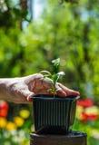 Саженец и рука мандарина Малый зеленый росток в цветочном горшке Стоковая Фотография RF