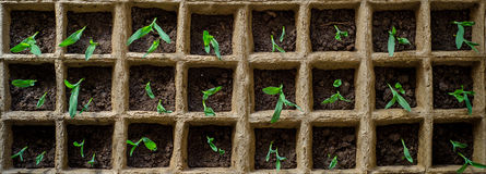 Саженец овощей Стоковое Фото