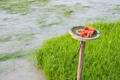 Саженец риса в рисовых полях Стоковое Изображение RF