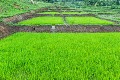 Саженец риса в warter на поле Стоковое Фото