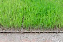 Саженец риса ягоды риса Стоковое Изображение RF