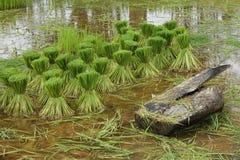 Саженец рисовой посадки Стоковые Фото