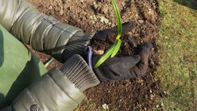 Саженец удерживания садовника женщины с почвой в руках акции видеоматериалы