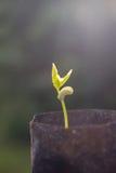 Саженец фасоли двора длинный Стоковое фото RF