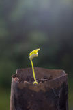 Саженец фасоли двора длинный Стоковые Изображения RF
