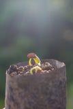 Саженец фасоли двора длинный Стоковые Фото