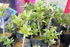 Саженец Bayberry стоковое фото rf