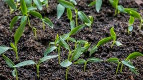 Саженцы баклажана, томата, сладостных перцев растя в прозрачном контейнере на окне в землистой почве в a стоковые изображения